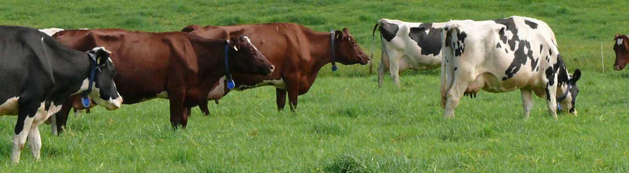 milk-cows2