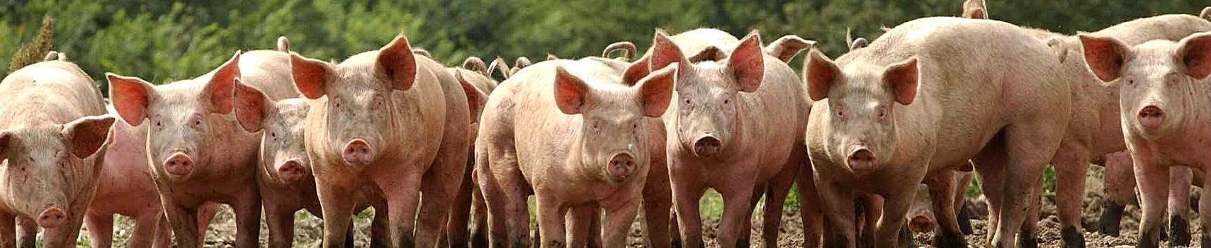 pigs-slide
